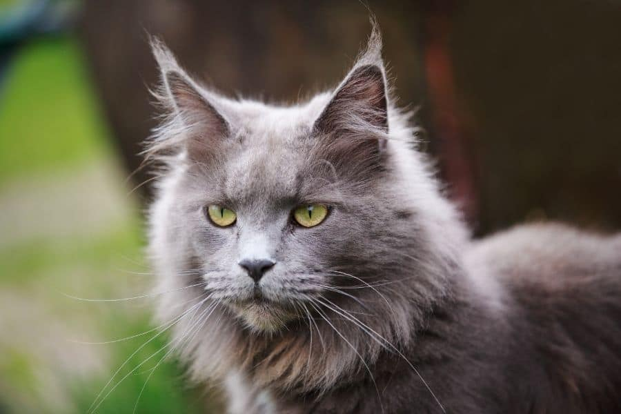 how long do maine coon cats live