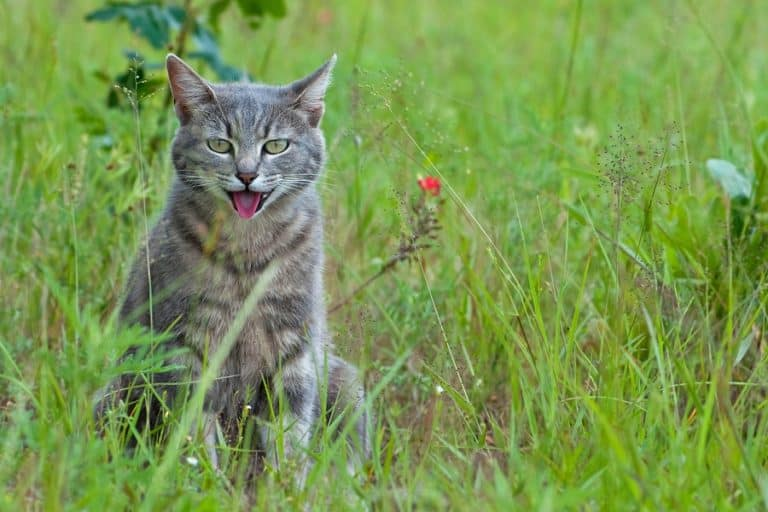 Why Is My Cat Panting? 6 Reasons Why