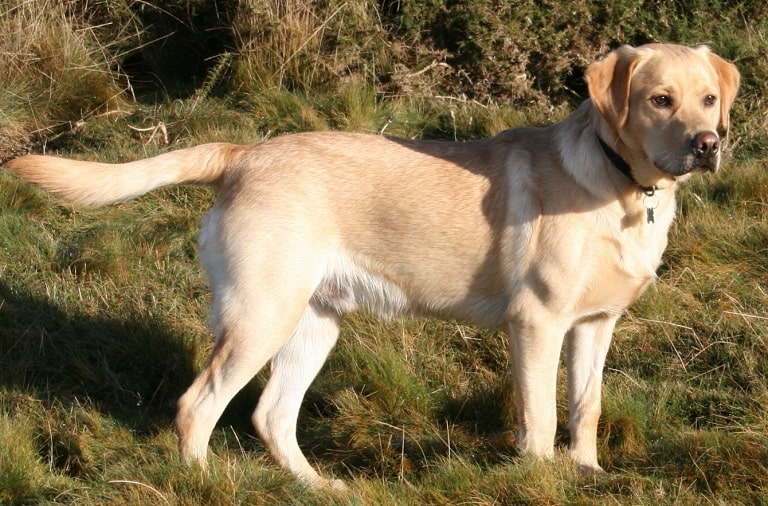 dog breeds that start with l