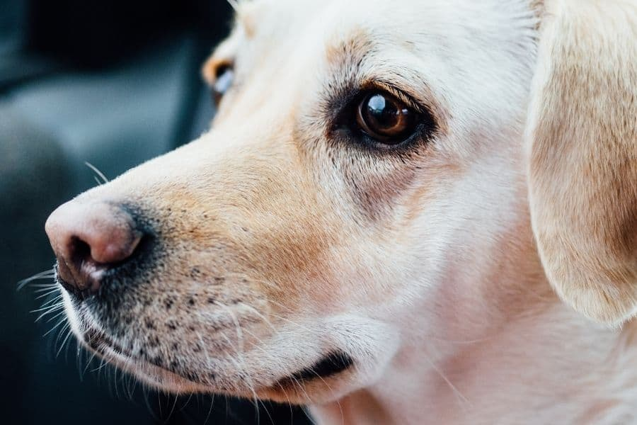 dog breeds with pink noses