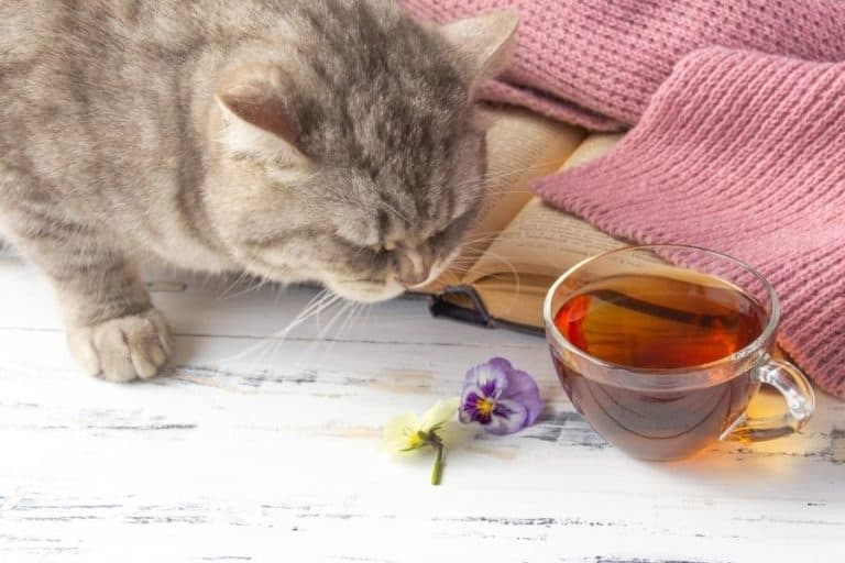 Can Cats Drink Tea or Are They Toxic?
