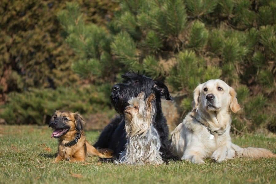 dog breeds that start with b