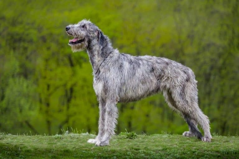 6 of the World's Tallest Dog Breeds (With Pictures)